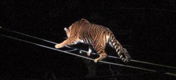 medium_Tiger.jpg