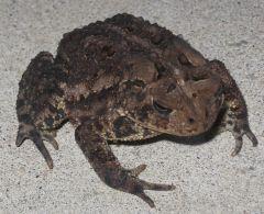 Toad2011.jpg